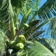 Coconut tree. — Stock Video