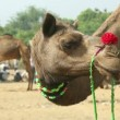 Pushkar Camel fair - Stock Photo