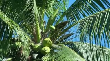 Coconut tree. — Wideo stockowe