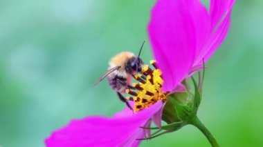 Bumble bee collects nectar — Stock Video
