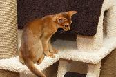 Abyssinian kitten — Stock Photo