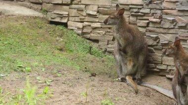 Kangur rodziny — Wideo stockowe