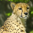 Stock Video: Cheetah