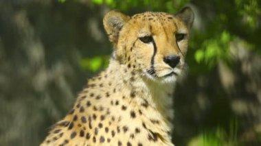 Cheetah — Stock Video