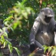 Gray langurs — Stock Video