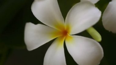 Flowers of plumeria — Stock Video