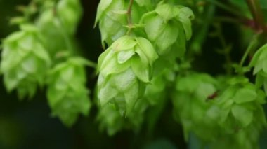 Hop plant — Stock Video