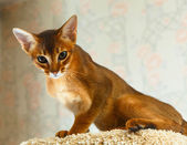 Abyssinian kitten — Stock Photo