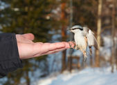 Eurasian Nuthatch. — Stock Photo