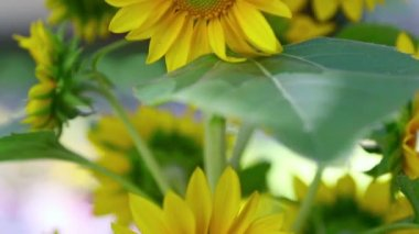Decorative sunflower — Stock Video