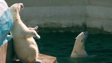 Polar bears — Stock Video