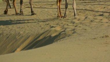 Camel caravan — Stock Video