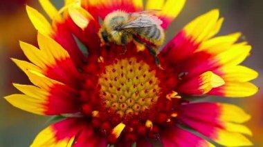 Bee pollinates flower — Stock Video