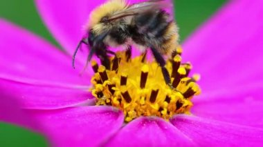 Bee pollinates flower — Stok video