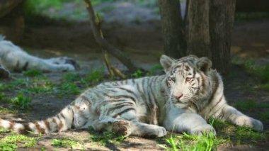 Curious tiger — Stock Video