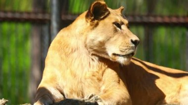 Lioness in zoo — Stock Video