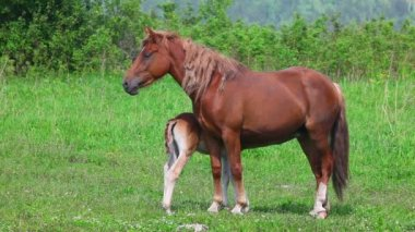 Horse with foal — Stock Video