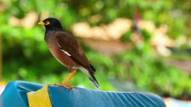 Common Myna — Stock Video