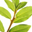 Laurel leaves - Stock Photo