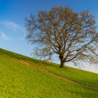 Royalty-Free Stock Photo: Lonely tree in the slope