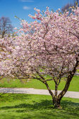 blossoming apple tree in a park — Stockfoto
