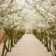 Avenue with blossom apple trees — Stock Photo