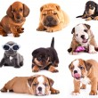 Puppies of different breeds, Dachshund, Shar Pei, Rottweiler, Bulldog, French Bulldog. - Stockfoto