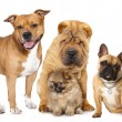 Group of  dogs in front of white background — Foto de Stock
