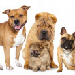 Group of dogs in front of white background — Stock Photo