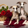 Whippet couple and red roses — Stock Photo