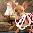 Puppy Chihuahua — Stock Photo #12600503