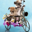 The puppy chihuahua on a bicycle in studio — Foto Stock
