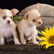 Royalty-Free Stock Photo: Chihuahua puppy