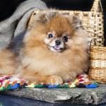 Spitz dog — Stock Photo #12600664