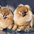 Stock Photo: Spitz dog love couple
