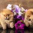 Stock Photo: Spitz puppy