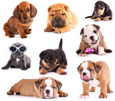 Puppies of different breeds, Dachshund, Shar Pei, Rottweiler, Bulldog, French Bulldog. — Stockfoto