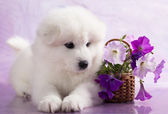 Samoyed dog in studio on a purple background and flowers — Stock Photo