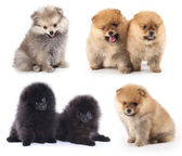 Miniature pomeranian spitz puppy, group of puppies different colors — Stock Photo