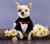 Chihuahua hua and daisies — Stockfoto