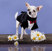 Chihuahua hua gentleman in a tuxedo with daisies — Stock Photo