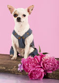 Chihuahua with purple flowers — Stock Photo