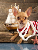Puppy Chihuahua — Stock Photo