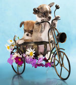 The puppy chihuahua on a bicycle in studio — Stock Photo
