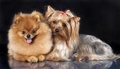 Spitz köpek ve korkunç yorkshire — Stok fotoğraf