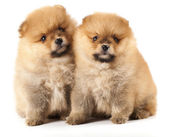 Tvo spitz puppies — Stock Photo