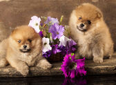 Spitz puppy — Stock Photo