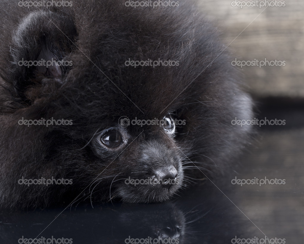 Little black Pomeranian spitz puppy on a gray background  — Stock Photo #12600663