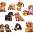 Dachshund puppies in different poses — Foto Stock