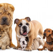 Group of  dogs — Foto de Stock